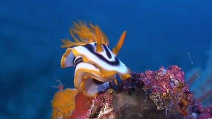 Dorid Nudibranch, sea slug