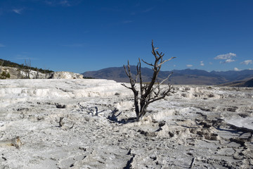 Dead Tree in Yellowstone Park Hot Springs