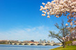 Cherry blossom near Potomac River in Washington DC. - 69791713
