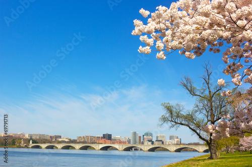 Cherry blossom near Potomac River in Washington DC. - 69791713