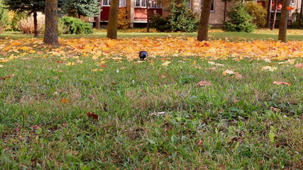 Crow and falling autumn leaves