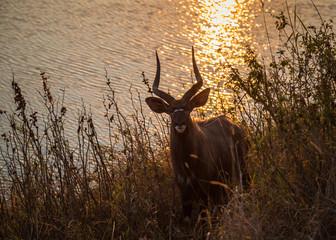 Nyala in the Sunset