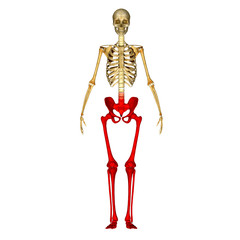 Skeleton legs with hip
