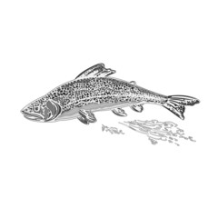 Rainbow trout salmonidae as vintage engraved vector