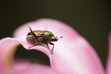 百合の花びらに乗った黄金虫