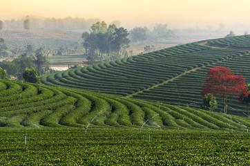 Choui Fong Tea field when sunrise, Chiangrai province, Thailand