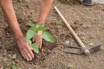 Farmer's hands planting a sunflower in the garden