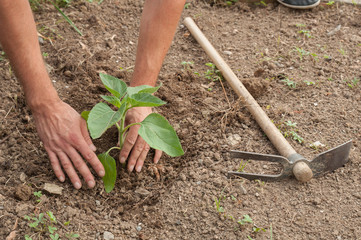 Farmer's hands planting a sunflower in the garden