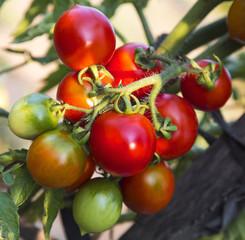 Tomato plant closeup