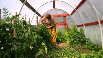 woman bind high tomato bush to sticks in glasshouse