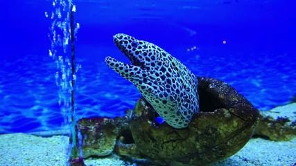 tiger moray eel