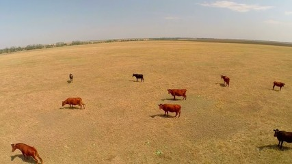 aerial cows paseshchy on a pasture