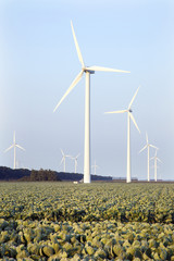 wind turbines and cabbage field in the Netherlands