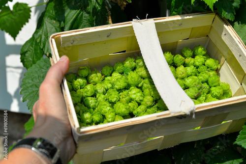 Hopfen Pflanze im Garten - 69800584