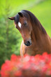 Bay horse head on green background, Trakehner stallion.