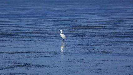Egret (Egretta garzetta) looking for food