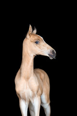 Small foal of a horse on black background