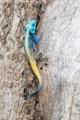 Blue headed agama lizard sitting on side of a tree baking in the