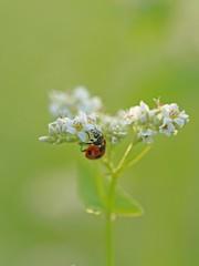 そばの花とてんとう虫