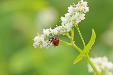てんとう虫とそばの花