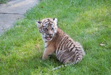 Portrait eines jungen Tigers