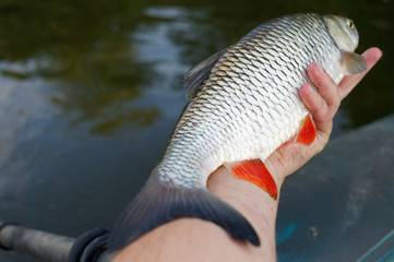 Big chub in fisherman's hand