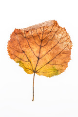 dried autumn leaf on white