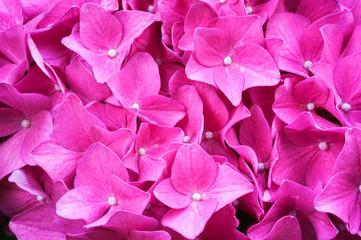 closeup hydrangea flower