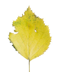 Birch leaf, autumn colors isolated on white background