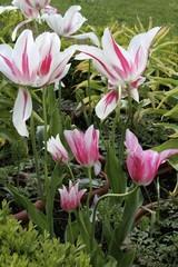 Versailles Palace - royal garden tulips