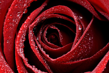 Zbliżenie czerwonej mokrej róży © CUKMEN