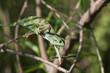 A Chameleon (Chamaeleo senegalensis) slowly reaching for the nex