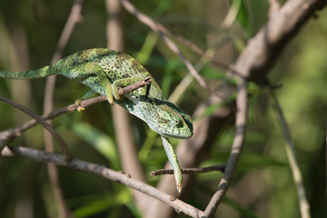 A Chameleon (Chamaeleo senegalensis) slowly reaching for the nex