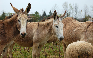 pair of donkeys in the flock