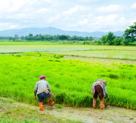 Thailand farmers working in the rice fields green.