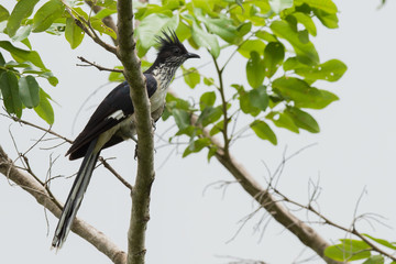 A Levaillant's Cuckoo (Clamator levaillantii) perched in a tree