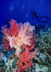 Egypt, Red Sea, tropical alcyonarians and divers