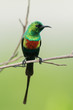 A male Beautiful Sunbird (Nectarinia pulchella) in full breeding