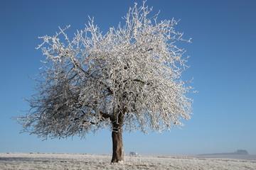 Apfelbaum im Rauhreif