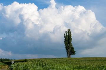 夏の美瑛の丘と木