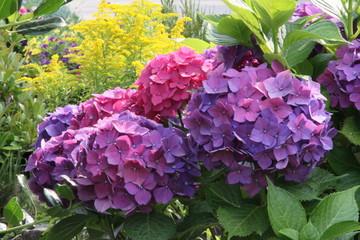 Hortensien blühen im Bauerngarten
