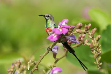 A young male Beautiful Sunbird (Nectarinia pulchella) perched wi