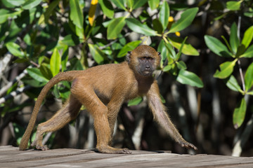 A young Western Baboon (Papio papio) on a walkway by the mangrov