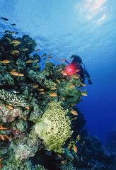 Egypt, Red Sea, staghorn corals, fire coral and anthias