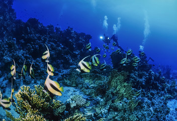 Egypt, Red Sea, Masked Butterflyfish and a divers