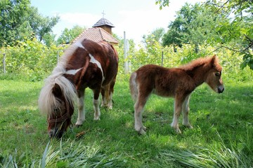 Baby pony and his mother