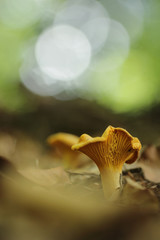 Cantharellus cibarius, commonly known as the chanterelle