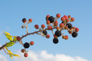 Bunch of blackberry branches