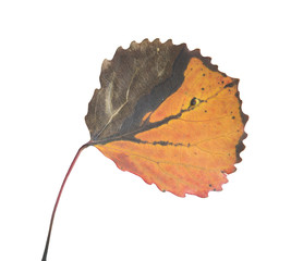 Autumn Aspen leaf, Populus tremula with autumn colors