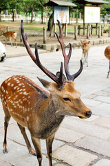 Male Deer in Nara